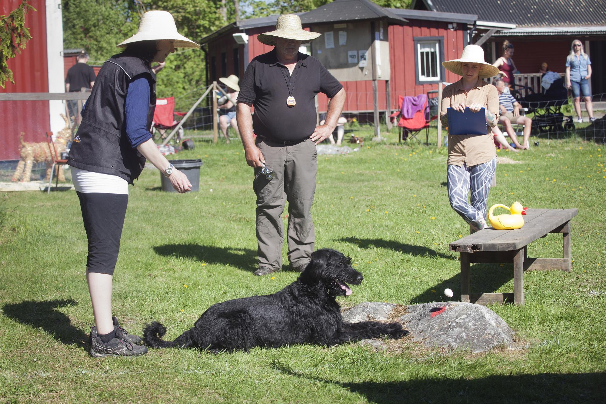 Inte bara hundar av rasen Malinois tävlade på helgens tävlingar. Här Riesenschnauzern Hexa, Arbaqs Narnia i momentet matvägran. Hunden skall då varken slicka eller äta det den frestas med. Hundarna i klass 1 frestades med ett kokt ägg.