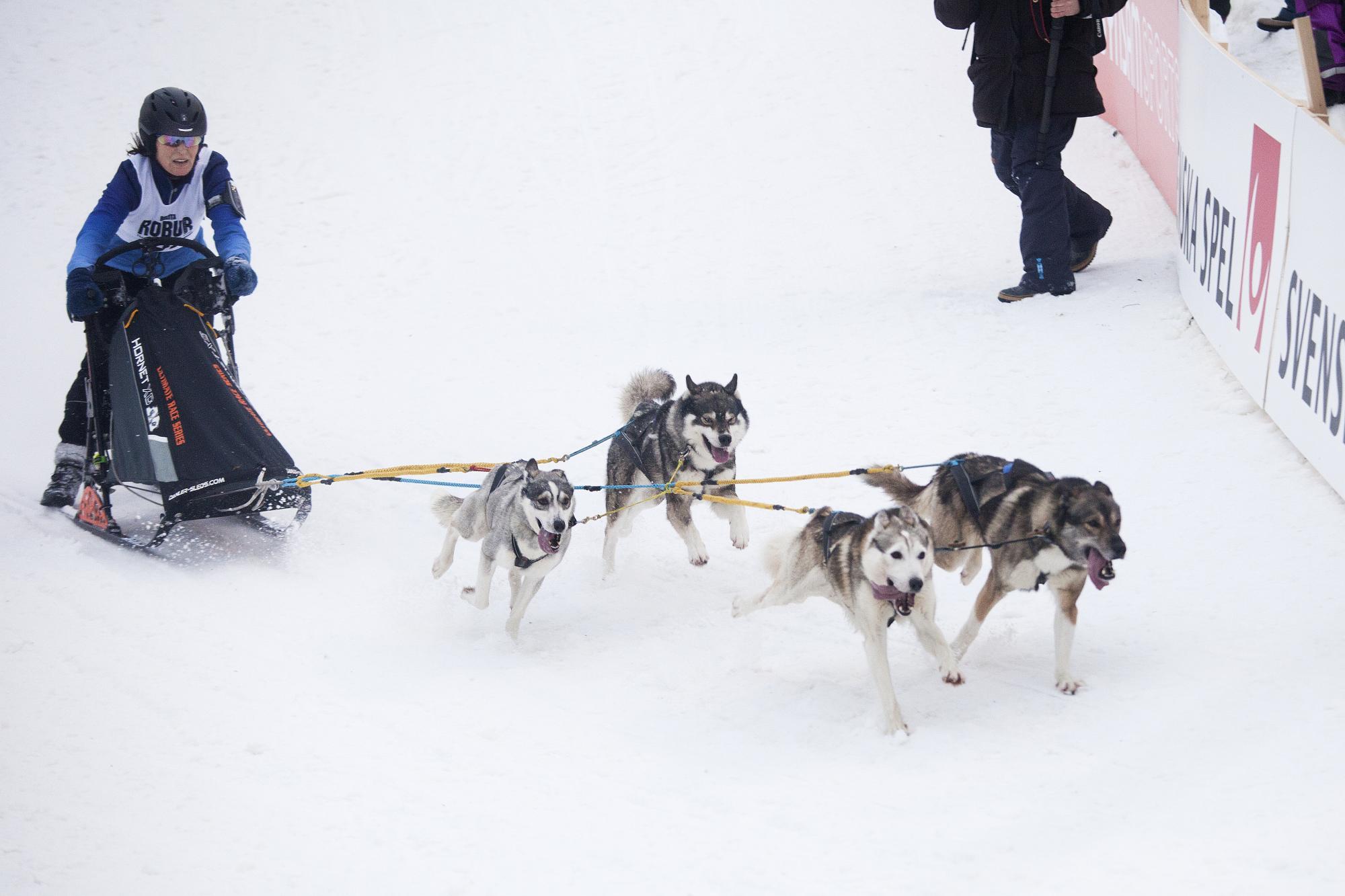 Annika Jansson har de senaste månaderna både vunnit SM i barmark och SM för slädhundar (masstart) med sitt 4-spann. Bilden är från SM-veckan i Söderhamn 2017.<br />Klicka på bilden för att komma till ett Webb-TV-inslag med Annika och maken Pär Jansson som också kör draghund.