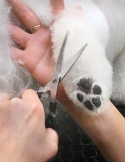 Inför tävlingen förbereds hunden så att, bland annat, tassarna är urklippta.