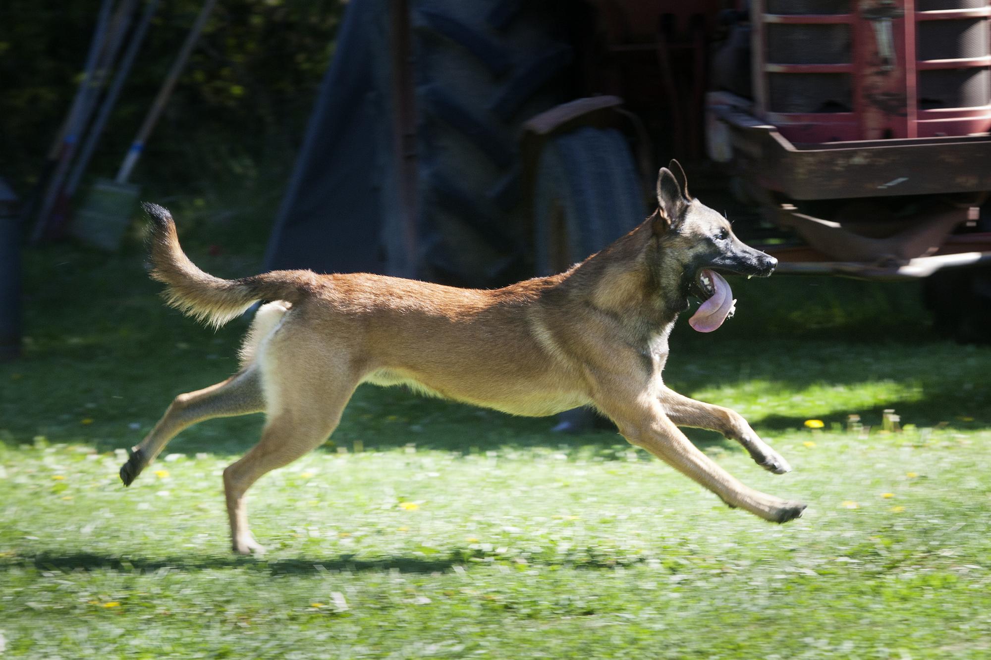 I momentet framåtsändande skall hunden springa rätt fram och sedan springa tillbaka till föraren på dennas inkallning. Här Jenny Lindströms hund Boa Vom Blauen Mistral på väg tillbaka till matte.