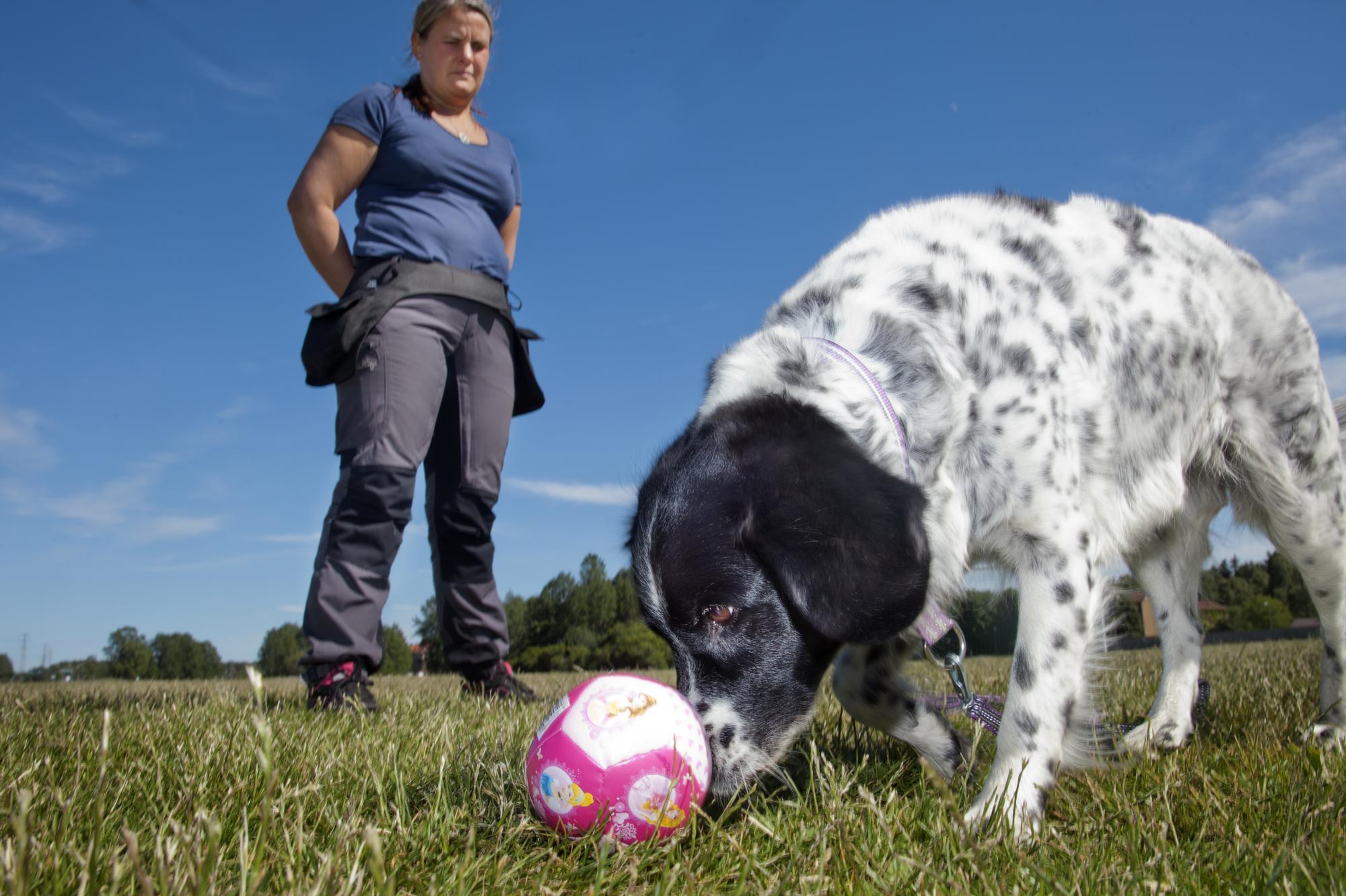 När hunden kan alternera mellan sex olika beteenden är det dax att lära den nya beteenden som den inte redan kan på kommando. <span class=\