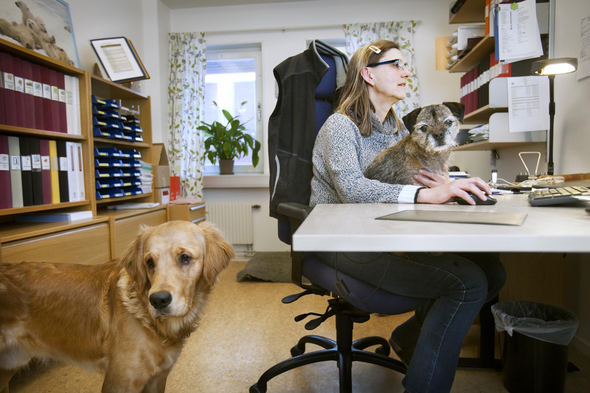 Agneta Olsson, handläggare för avel och hälsa, har full fokus på sina arbetsuppgifter ihop med Border terriernLizzie ochGolden retrieverkillenSkipper.