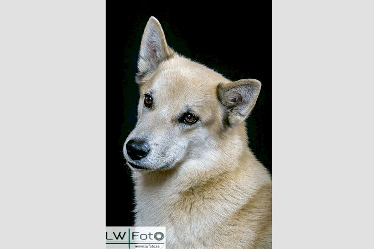 Sacha var en Hälleforshund och Cattis berättar att hon fick erbjudandet att köpa henne då hon var rädd och gömde sig under en byrå hos uppfödaren.