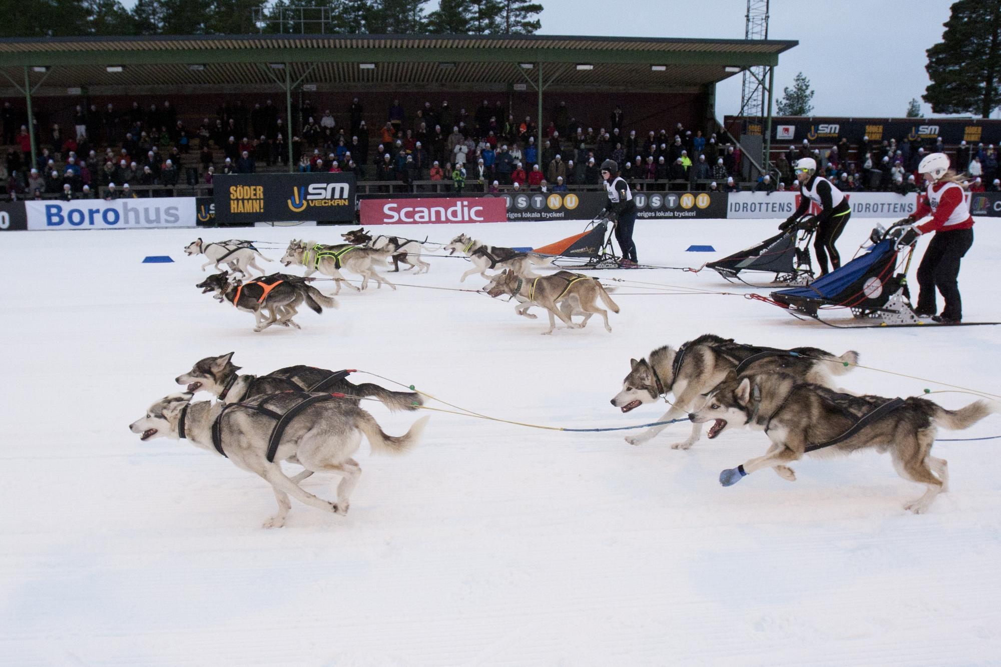 Förra årets masstart från SM-veckan i Söderhamn. Även årets SM-tävlingar i masstart med 4-spann kommer sändas på SVT-play.