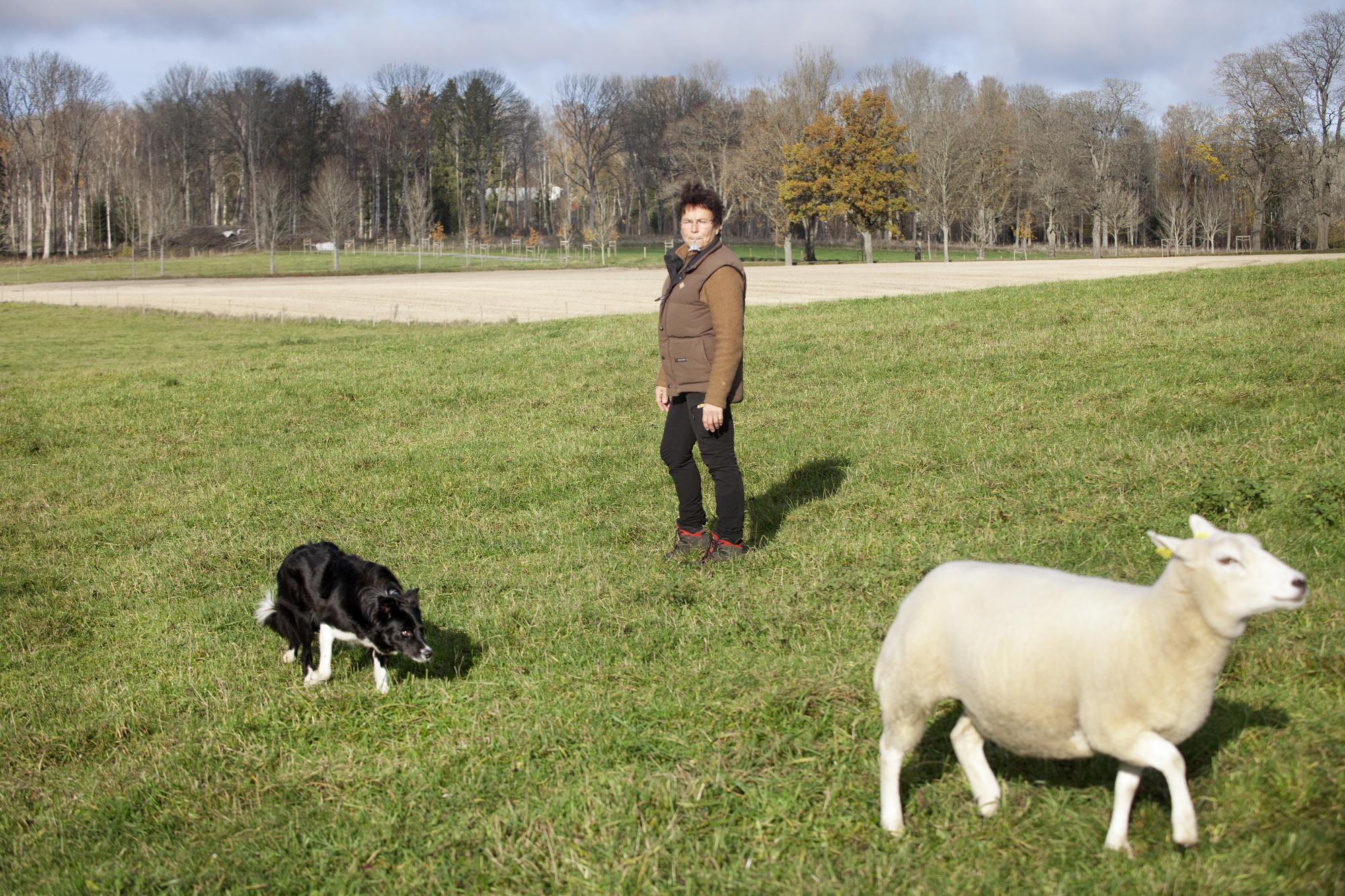 Barbro tycker att det är viktigt att den som vallar visar hänsyn till fåren.