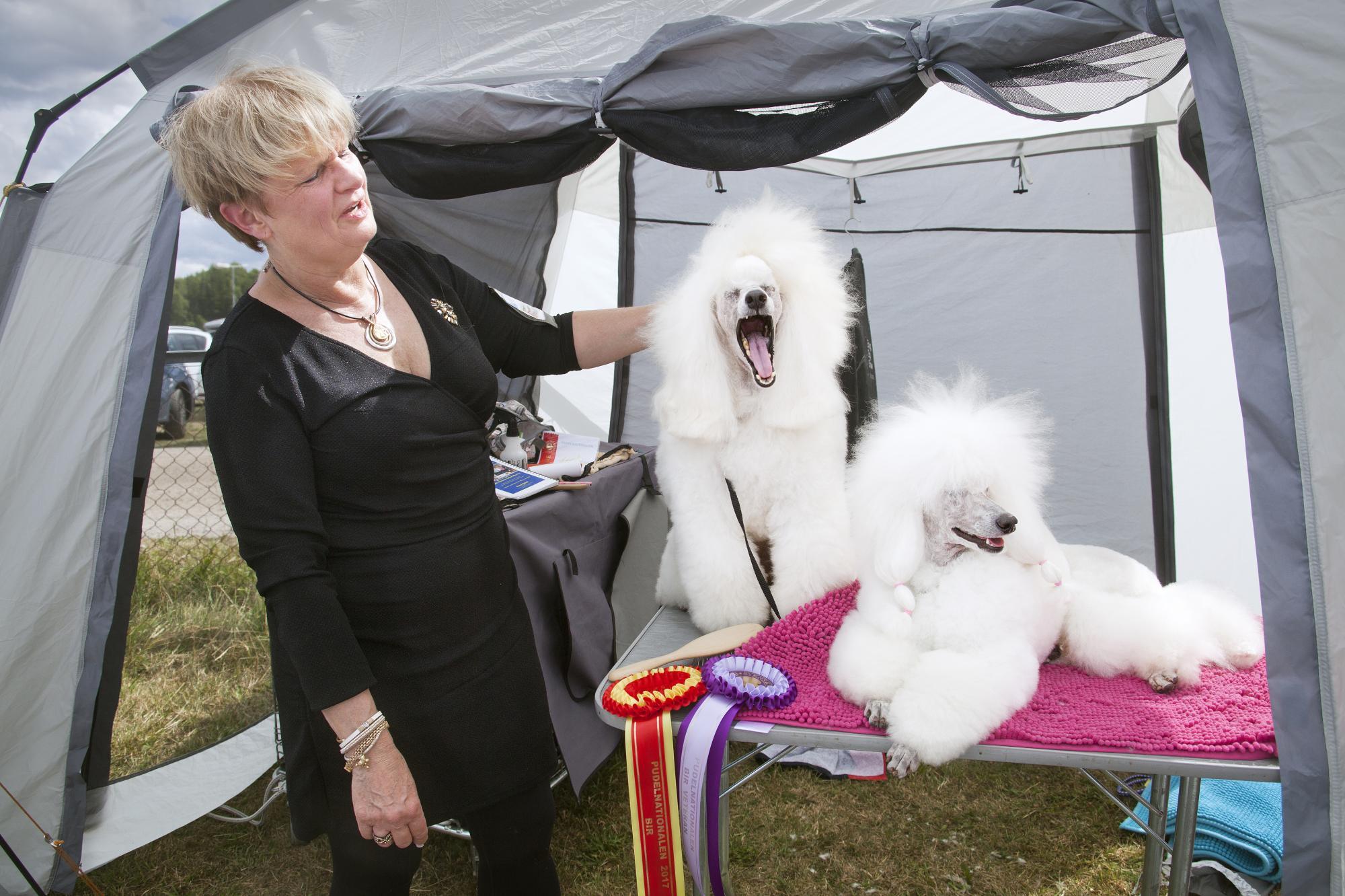 Långa dagar på utställningen tröttar ut både hundar och ägare. Vinstrika Robby, \
