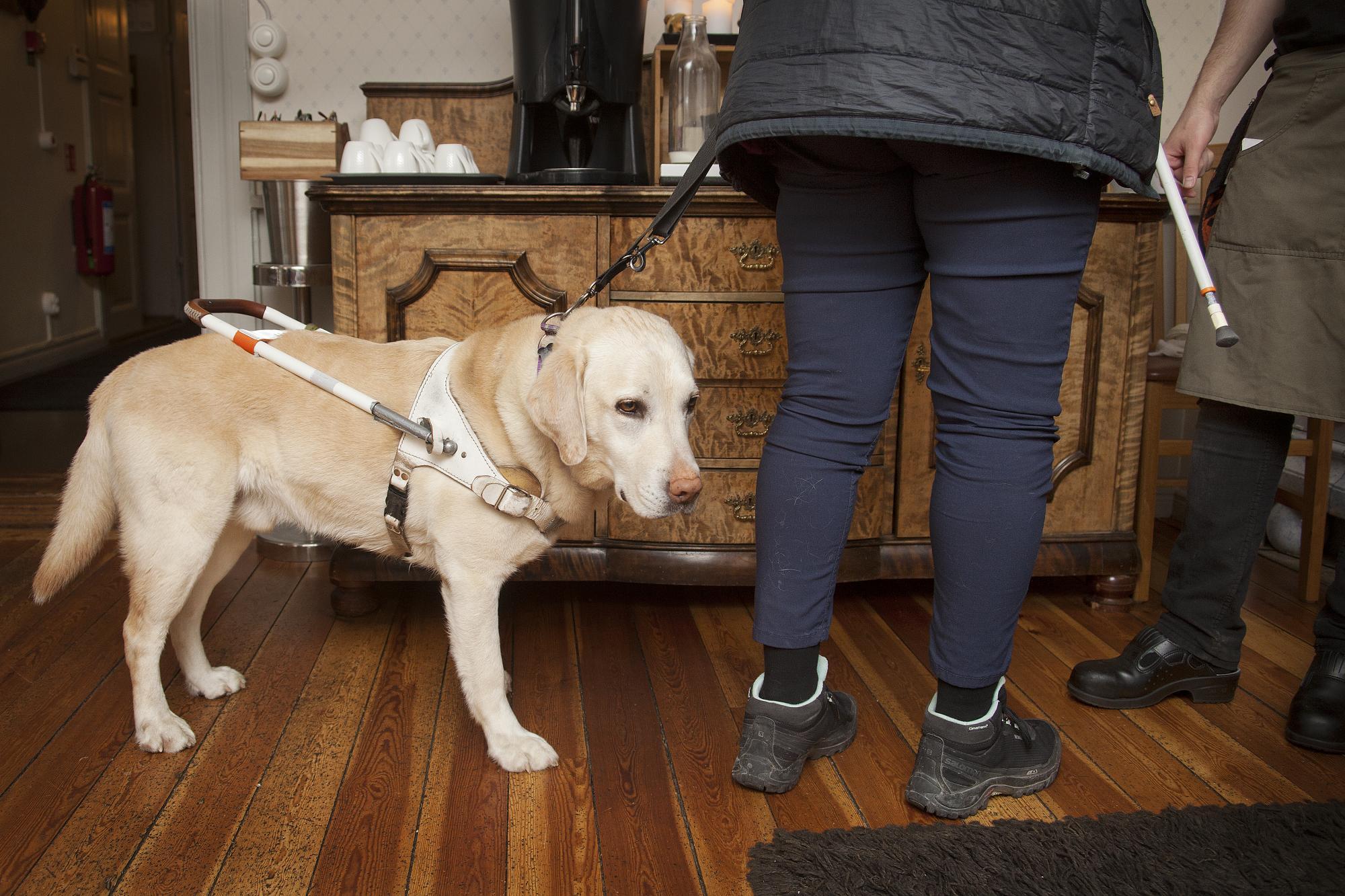 Det ställs höga krav på en ledarhund. Den ska både låta bli att ta kontakt med människor, men ändå kunna ta initiativ. Annika Östling berättar mer i Hundetablissemangets podd.