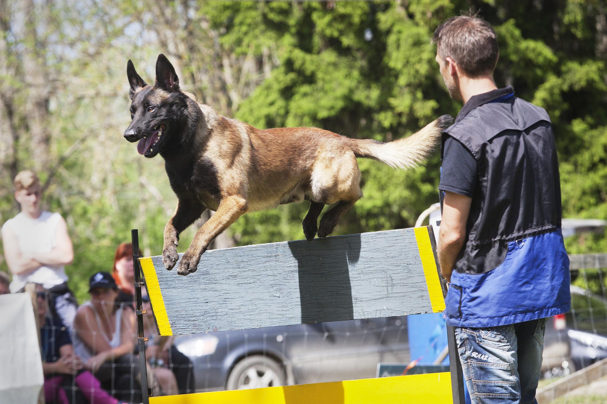 Jonas Walléns hund Bruksviljans B-Grip blev 2018 års Mondioringhund. Bilden är från Sveriges första Mondioringtävling som arrangerades på Jonas hemmaklubb i Enköping. Klicka på bilden för att läsa mer om sporten.