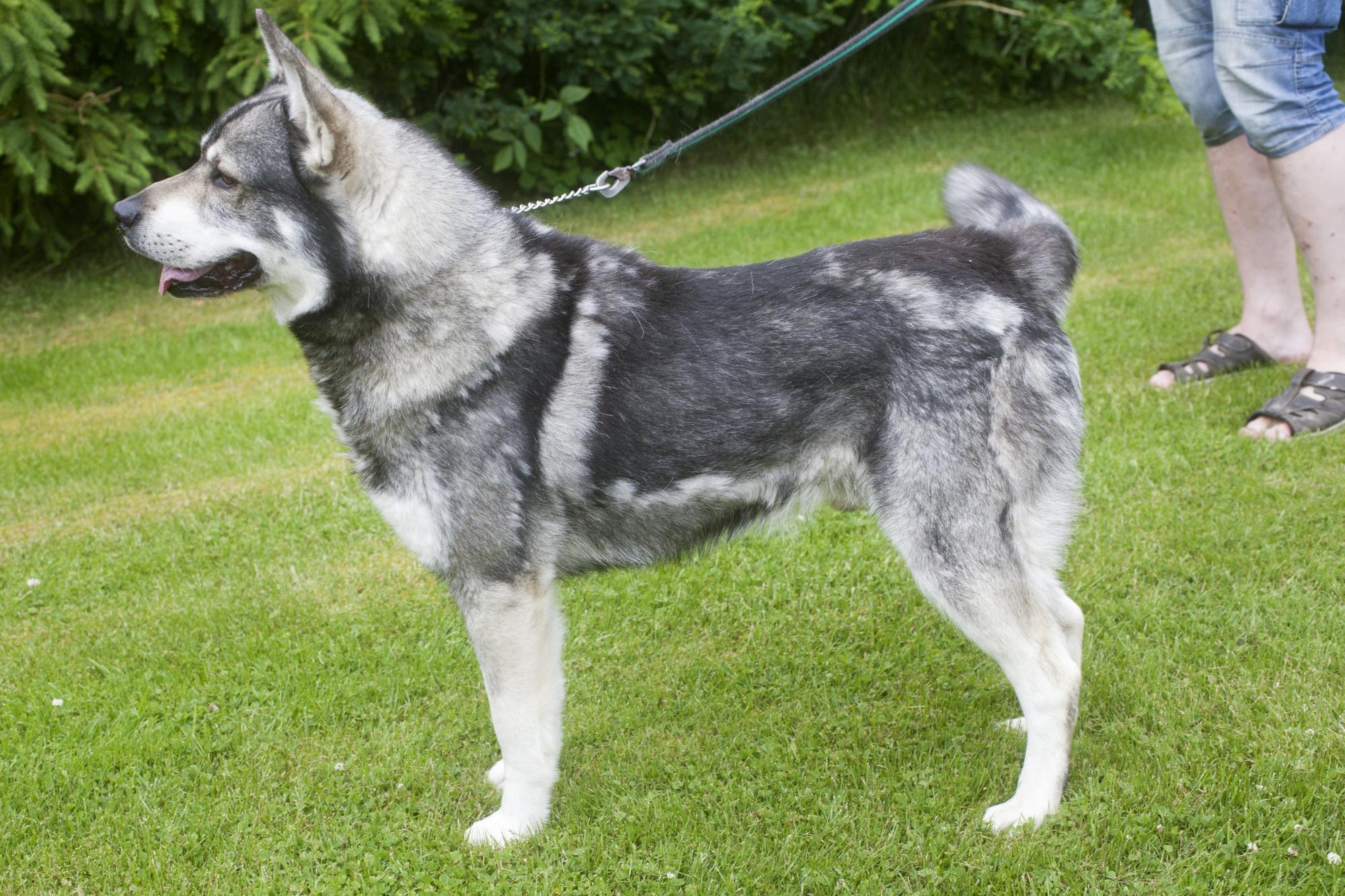 Jämthund är en spetshund som framförallt används vid älgjakt.