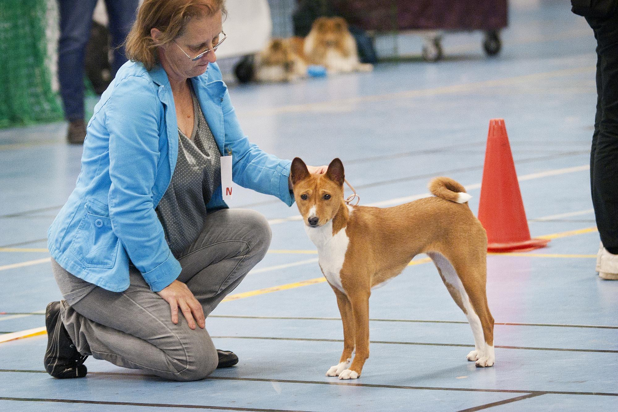 HE besökte en av SRUKs, Svenska Rasutställningsklubbens utställningar. På bilden ses<span>Basenjin Ariel som blev utställningens finaste hund, här ställd av handlern Carina Renberg.</span><br />Klicka på bilden för att komma till reportaget.