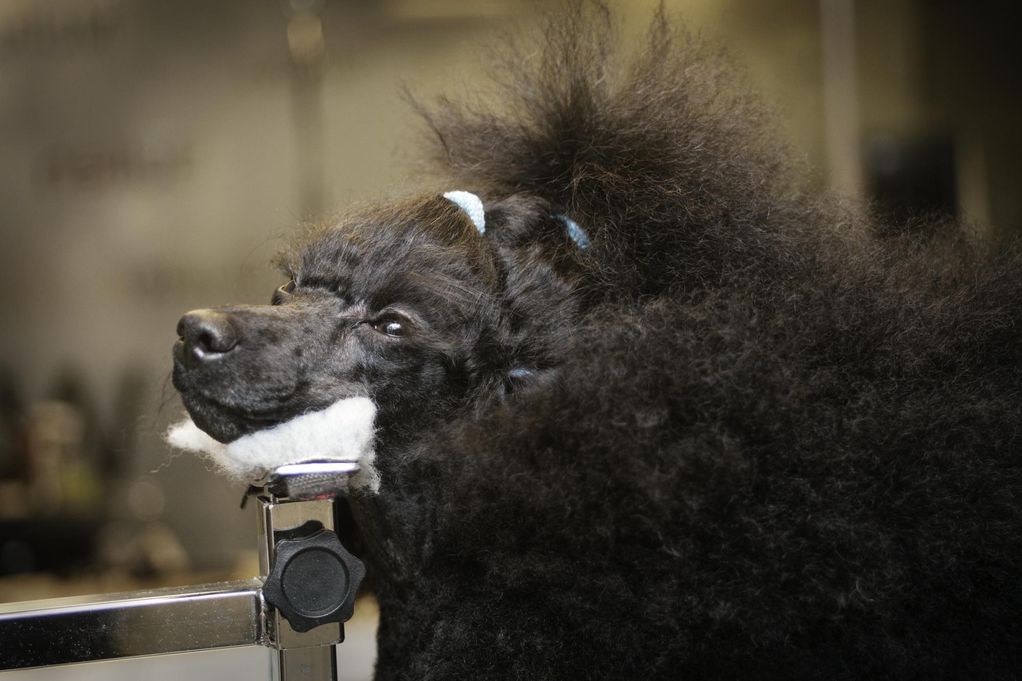 Stina står blickstilla och stödjer sitt huvud medan hon blir klippt. Det är viktigt att en hundfrisör hanterar hundarna med respekt.