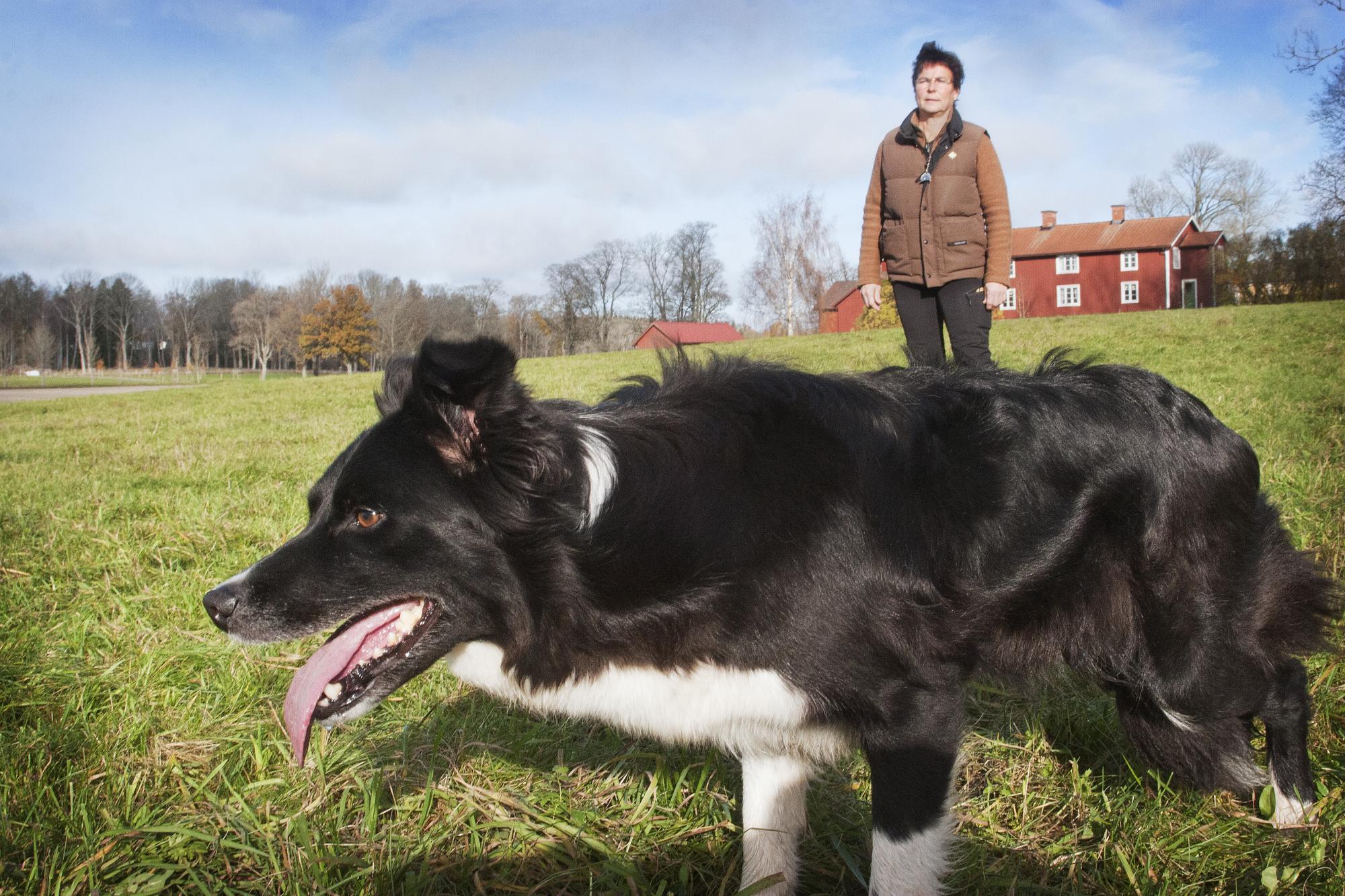 Många förare till hundar som tränat och tävlat lydnad blir förskräckta när de ska valla och lydnaden är som bortblåst.
