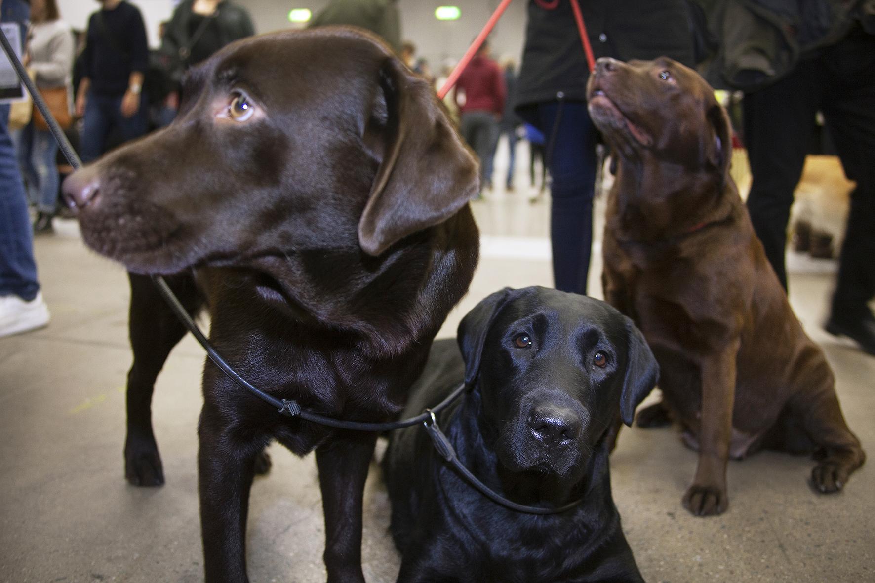 Tidningen Hundetablissemanget har nyss publicerat en artikel med Labradorkunniga personer som svarar på varför de gillar rasen. Läs artikeln genom att klicka på bilden.