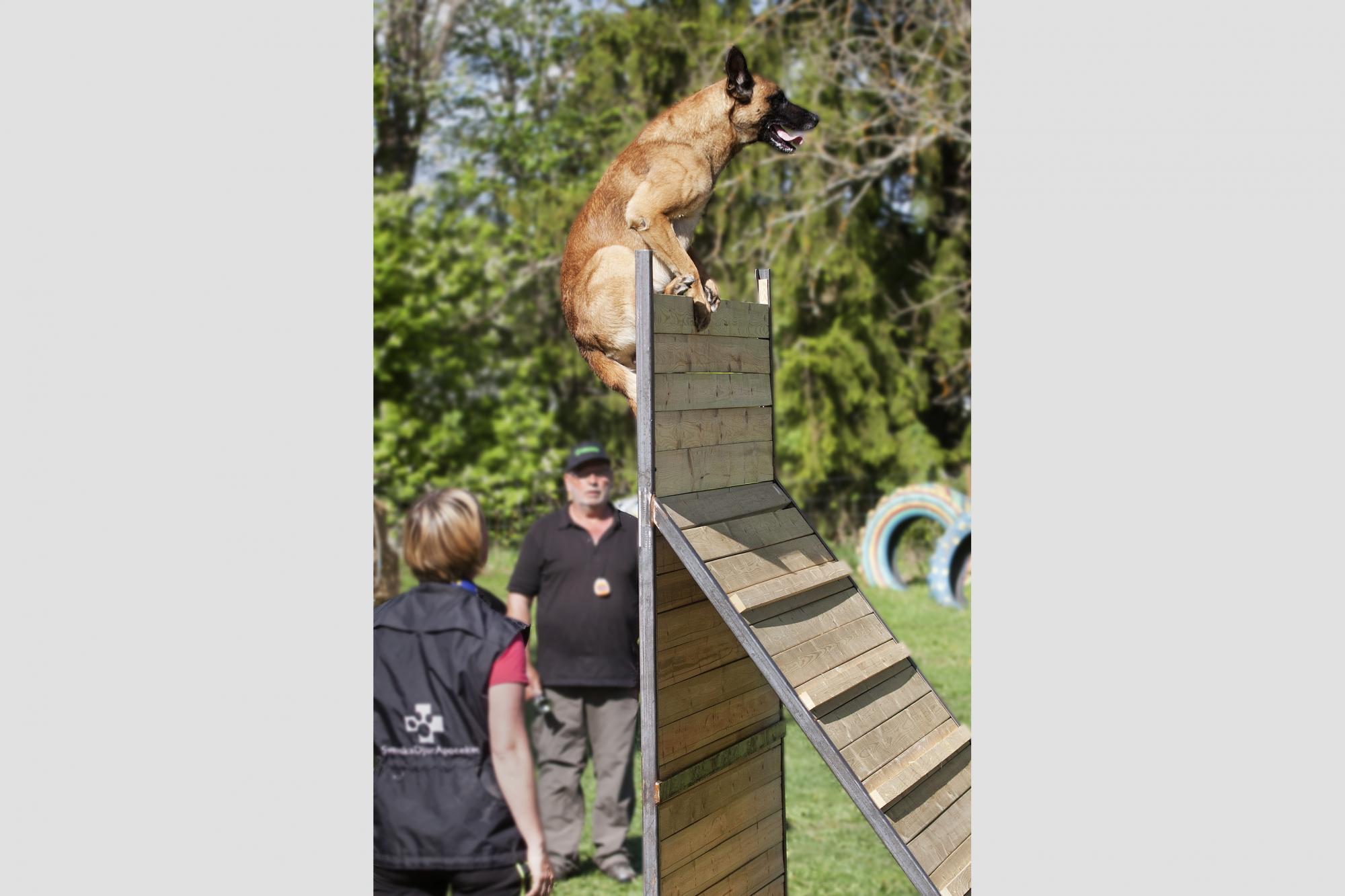 Vinnaren Emma Svenssons hund Magi, Magic V D Berlex-Hoeve, i momentet \