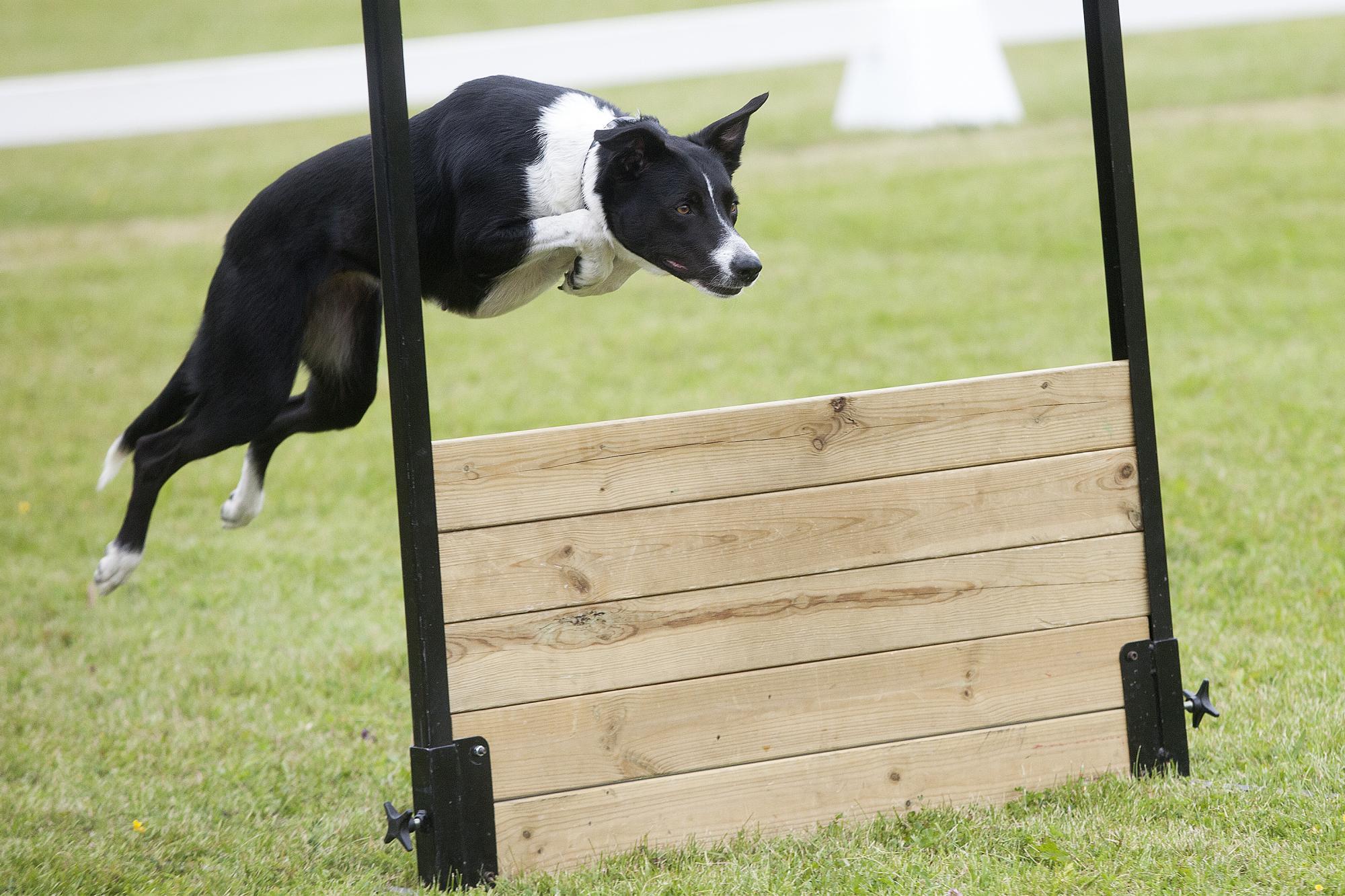 I de nya reglerna skall hunden sändas runt en kon, åtlyda en position, apportera och sedan hoppa över rätt hinder.