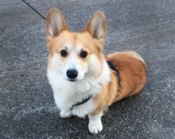 Welsh Corgi Pembroke är en av alla raser som kommer ställas ut på My DOGs hundmässa och finnas på rasklubbstorget.