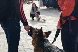 <span>Kicki Fellstenius med sina arbetskamrater Oskar och Tage. Oskar är en sjuårig Engelsk Setter och</span>Tage en tre år gammal Beagle.